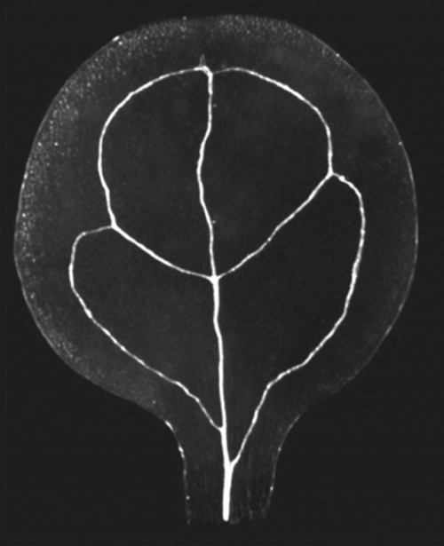 Cotyledon venation pattern of Arabidopsis thaliana