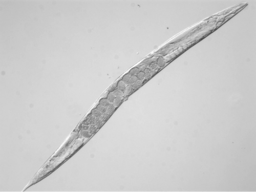 Light micrograph of a wild type hermaphrodite worm